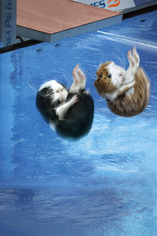 Guinea Pig Games 2013 - Synchronized Diving